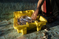 A fisherman sorts crabs on deck before delivering the haul to market after a limited number of boats were allowed to return to the sea following a cease-fire reached after an 11-day war between Hamas and Israel, in Gaza City, Sunday, May 23, 2021. (AP Photo/John Minchillo)