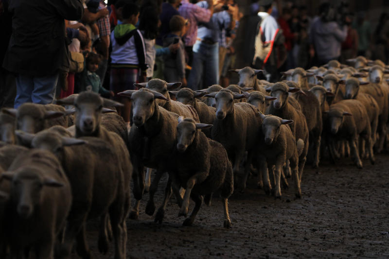 People watch as shepherds, unseen, lead their sheep through the centre of Madrid, Spain, Sunday, Oct. 6, 2013. Spanish shepherds led flocks of sheep through the streets of downtown Madrid in defense of ancient grazing, migration and droving rights threatened by urban sprawl and man-made frontiers. The rights to droving routes have existed since before Madrid grew from a rural hamlet to the great capital it is today. (AP Photo/Andres Kudacki)