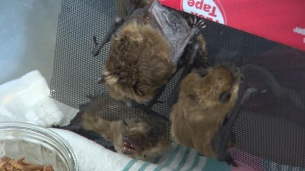 A bat colony made up of mostly males was found hibernating in a curling rink in Unity, Sask. They are currently being cared for at Living Sky Wildlife Rehabilitation in Saskatoon. (Don Somers/CBC - image credit)