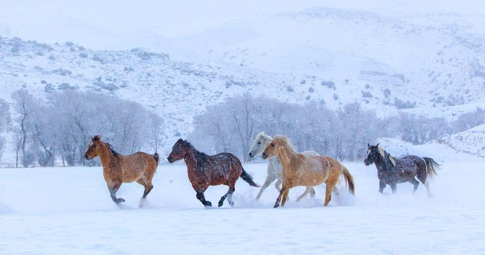 <p>A group of horses running in the snow-covered hills of Shell, Wyoming.</p>