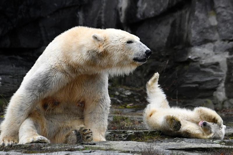 The unnamed polar bear cub frolicked with her mother Tonja at Berlin zoo (AFP Photo/John MACDOUGALL)