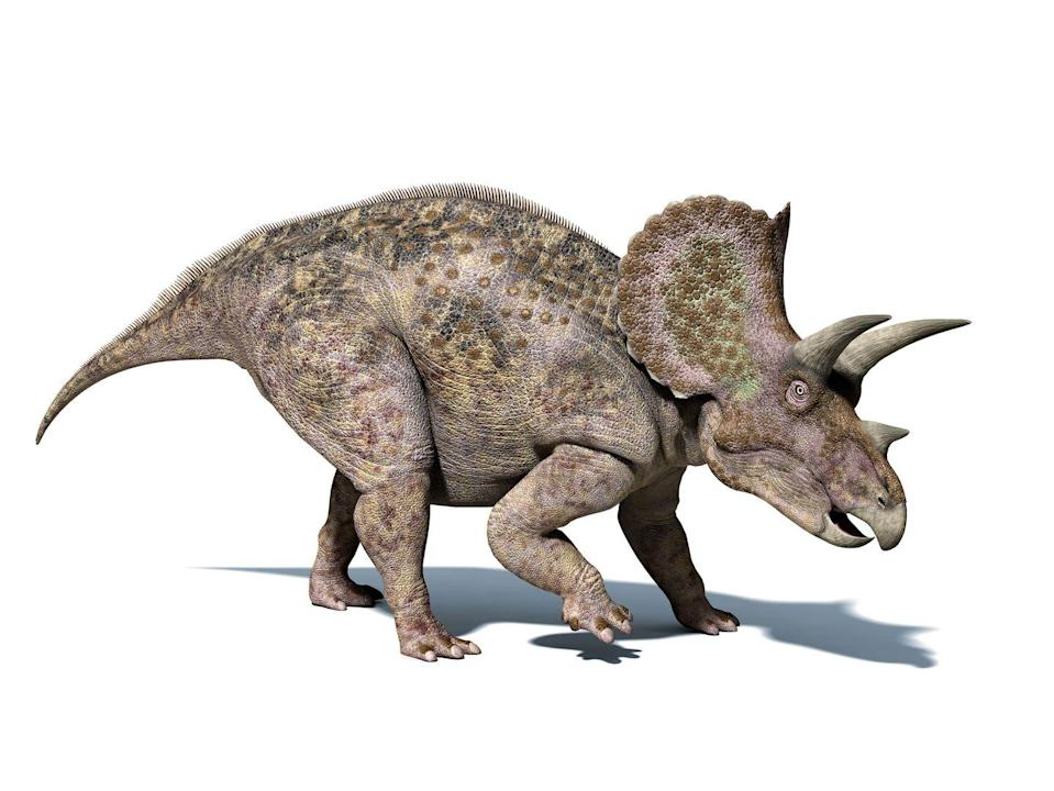 <p><strong>State Dinosaur: Triceratops </strong></p><p>There's fossil evidence of this horned dino roaming through Wyoming. Also, the state sport is the rodeo. </p>