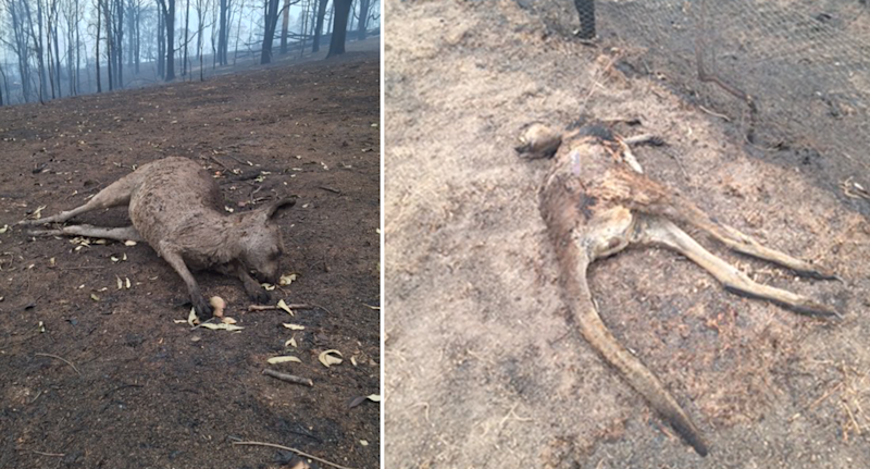 Dead wildlife at the Cobargo property of Sara Tilling and her partner Gary Henderson. Source: Supplied