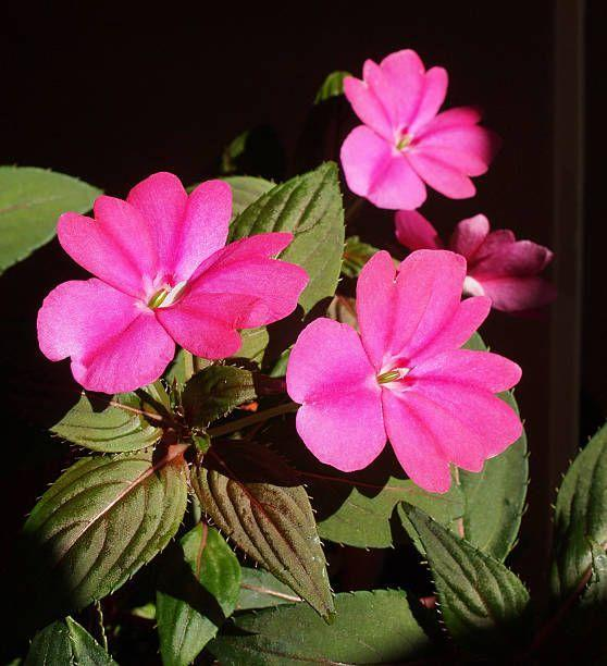 "<p>These upright annuals offer bright color to shady spots in your garden. They aren't as susceptible to disease as other types of impatiens. They need mostly shade. </p><p><a class=""link rapid-noclick-resp"" href=""https://www.provenwinners.com/plants/impatiens/infinity-blushing-crimson-new-guinea-impatiens-impatiens-hawkeri-0"" rel=""nofollow noopener"" target=""_blank"" data-ylk=""slk:SHOP NEW GUINEA IMPATIENS"">SHOP NEW GUINEA IMPATIENS</a></p>"