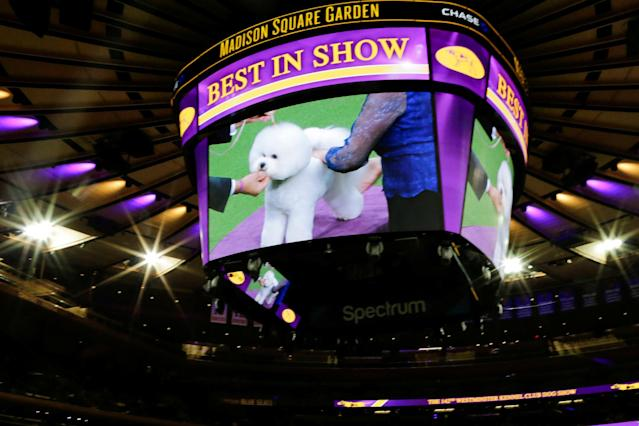 Flynn, a bichon frise is seen on screen as it is judged on the ring before winning the Best in Show at the 142nd Westminster Kennel Club Dog Show in New York, U.S., February 13, 2018. REUTERS/Eduardo Munoz