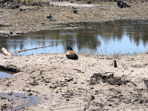 A Canada goose could be seen on the protected land on Saturday.
