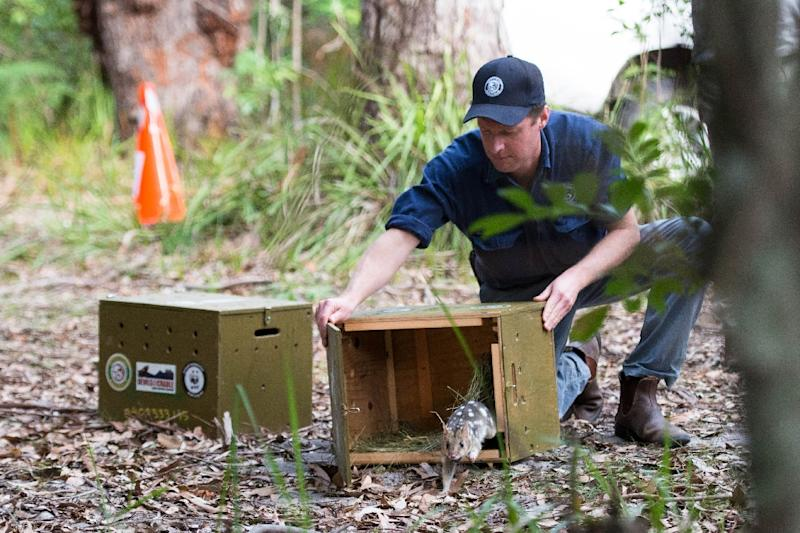 An eastern quoll takes its first steps into the wild (AFP Photo/Morgan CARDIFF)