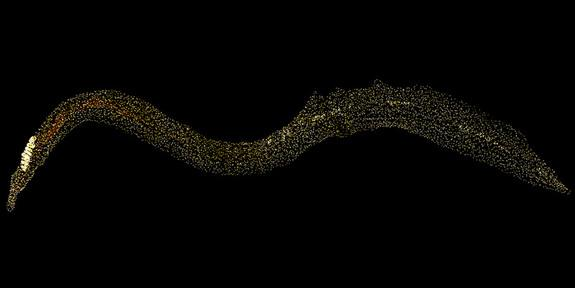 Researchers discovered the blood fluke <em>Schistosoma mansoni</em> harbors a population of non-sexual stem cells (yellow dots) that replenish its tissues and contribute to its ability to live in its host for decades.