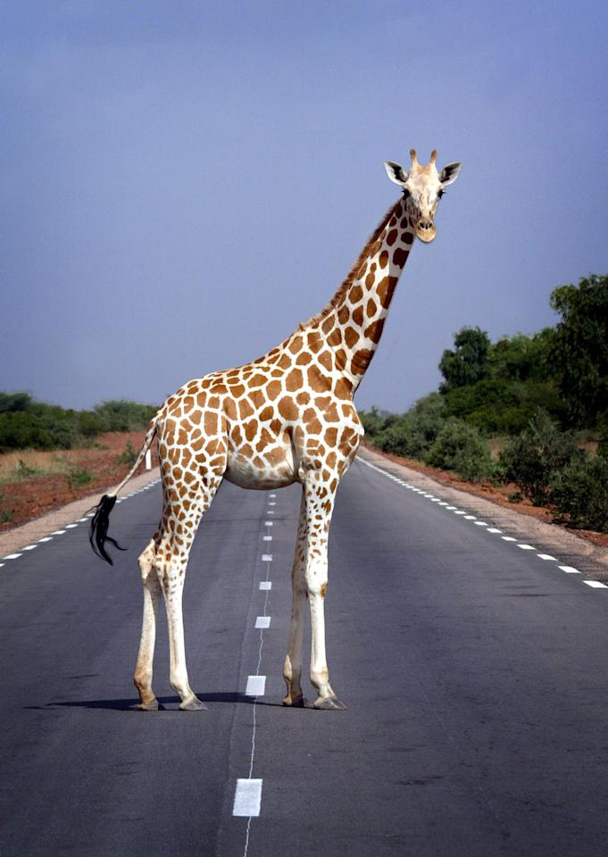 A giraffe pauses while crossing a road outside Niger's capital Niamey July 4, 2005. Giraffes are rare in West Africa, with Niger claiming to be home to the only giraffe population in the region. REUTERS/Finbarr O'Reilly