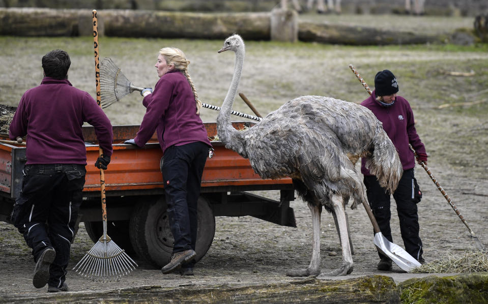 Zookeepers prepare the African enclosure beside an ostrich at the reopened zoo in Muenster, Germany, Monday, March 8, 2021. Zoos are allowed to open today after 18 weeks of lockdown due to the coronavirus pandemic. (AP Photo/Martin Meissner)