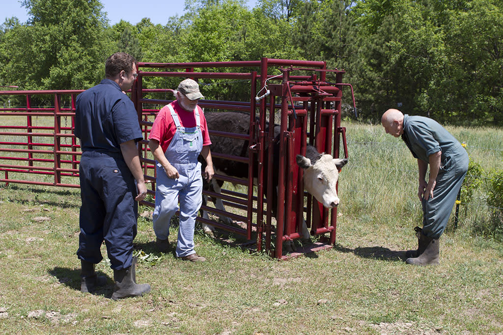 Mt. Pleasant, MI: Dr. Pol looks at a beef cow in a chute.