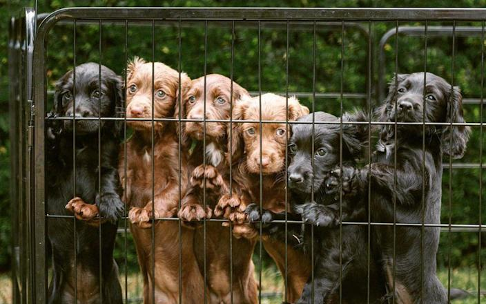 The puppies, one of whom was given to the Cambridges