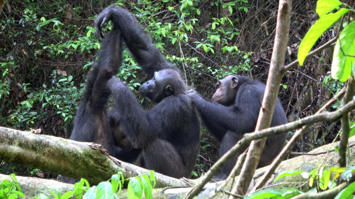 CORRECTS COUNTRY TO GABON, NOT GAMBIA - In this November 2018 photo provided by Tobias Deschner, male chimpanzees of the Rekambo community groom one another in the Logano National Park in Gabon. A study released on Thursday, March 6, 2019 highlights the diversity of chimp behaviors within groups _ traditions that are at least in part learned socially, and transmitted from generation to generation. (Tobias Deschner/Loango Chimpanzee Project via AP)