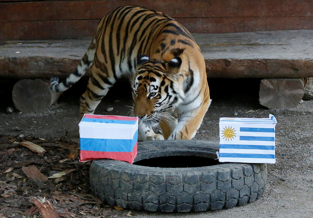 Yunona, a six-year-old female Amur tiger, attempts to predict the result of the soccer World Cup match between Uruguay and Russia during an event at the Royev Ruchey Zoo in Krasnoyarsk, Russia June 24, 2018. REUTERS/Ilya Naymushin