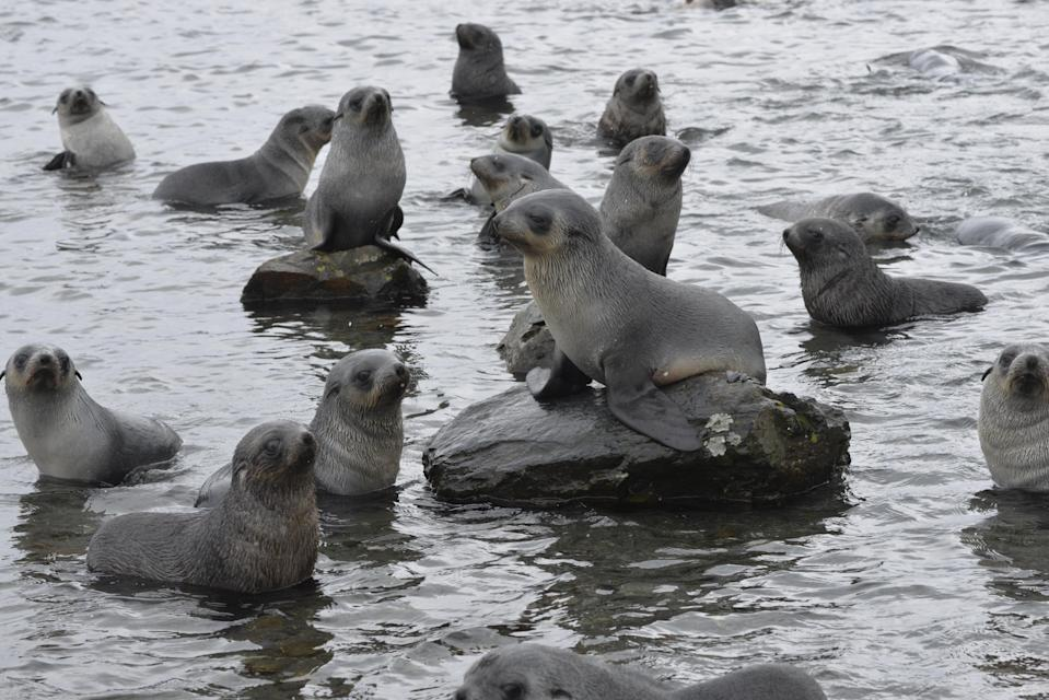 Fur seal pups are among the wildlife on the islands (GSGSSI/PA)
