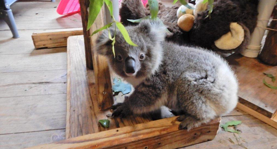 A Strzelecki koala in care after losing his mother. Source: Susie Zent