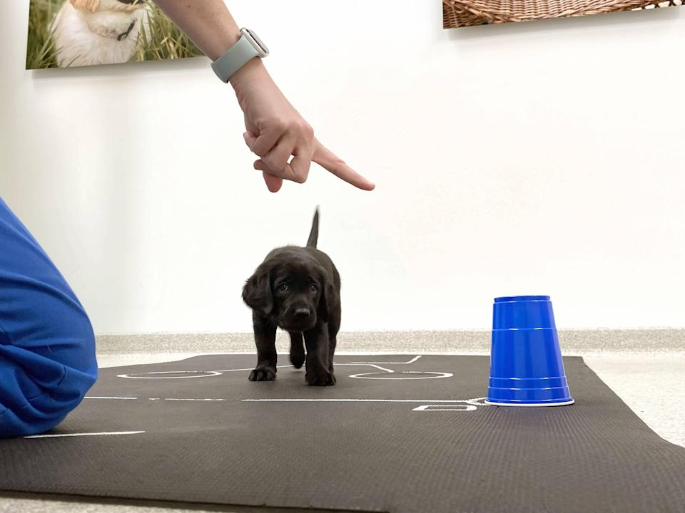 A black retriever puppy takes part in the pointing task (Canine Companions for Independence/PA)