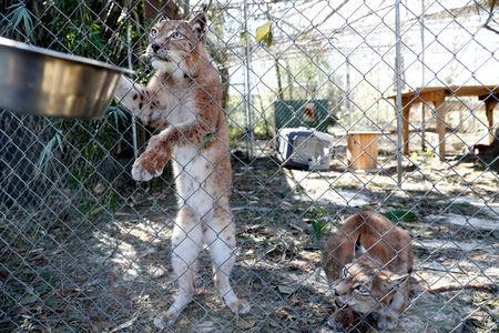 FILE PHOTO: Siberian lynx are fed in the aftermath of Hurricane Michael at the Bear Creek Feline Center in Panama City, Florida, U.S. October 12, 2018. REUTERS/Terray Sylvester/File Photo