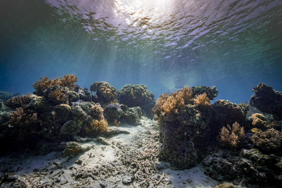 scuba diver floating near to corals on ocean floor.