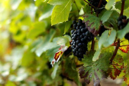 Grapes are pictured at the Bollinger vineyard during the traditional Champagne wine harvest in Ay