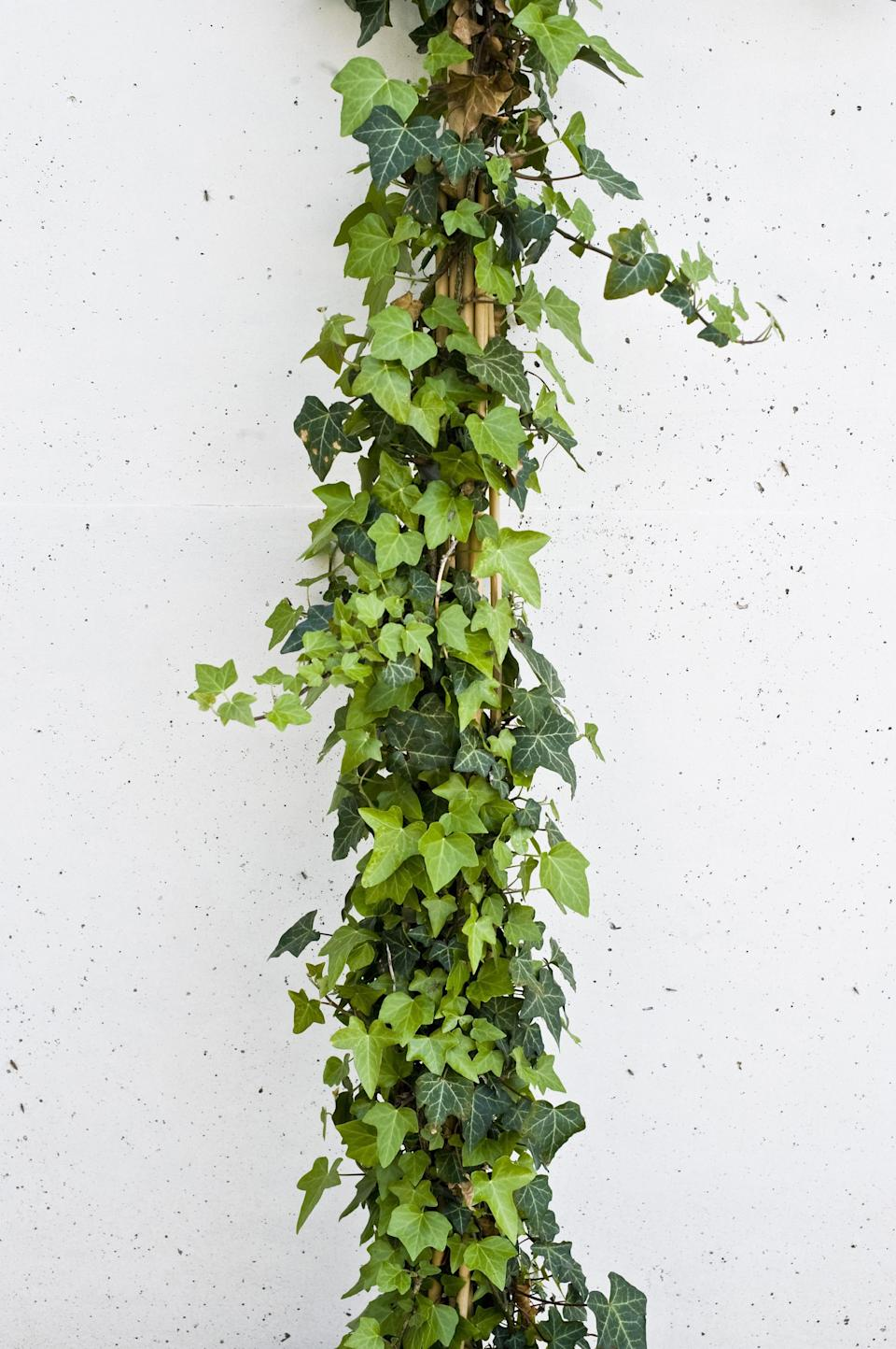 <p>Trailing ivy can remove 78% of airborne mould in as little as 12 hours, according to researchers at the American College of Allergy, Asthma and Immunology.<br><i>[Photo: Getty]</i> </p>