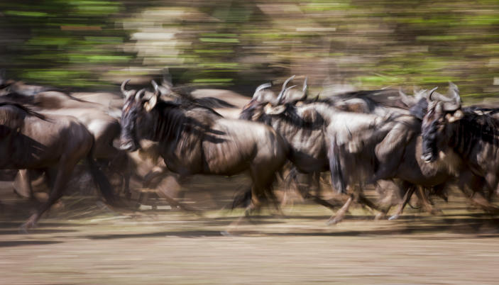 A herd of wildebeest migrate across the plains. (Photo: Will Burrard-Lucas/Caters News)