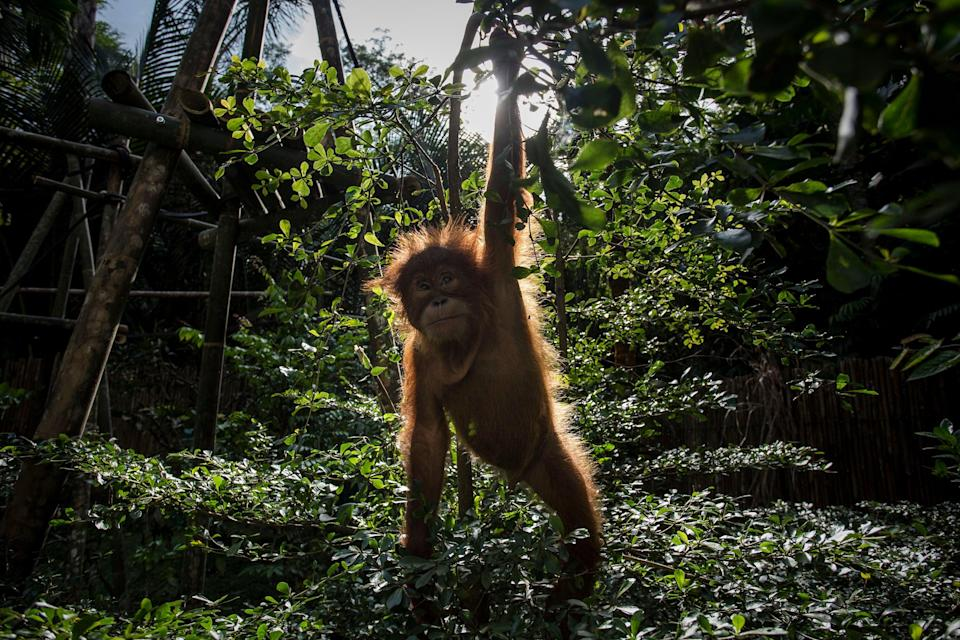 Baby orangutan at the Sumatran Orangutan Conservation Programme. The dangers to nature and climate must be treated as one, scientists say (Getty Images)