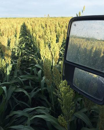A field of sorghum (milo) grain is seen at a farm outside of Texhoma, Oklahoma, U.S., in this undated photo released to Reuters on April 3, 2018.       Courtesy Jerod McDaniel/Handout via REUTERS