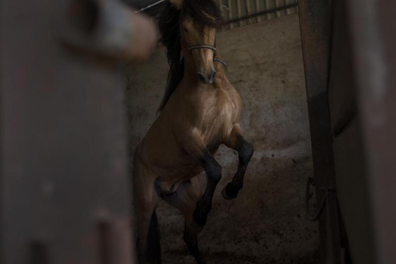 In this photo taken on Monday, April. 8, 2013, a ''Pura Raza Espanola'' or Pure Spanish Breed horse belonging to breeder Francisco Mesa is seen inside a stable at La Yeguada de la Nobleza ranch in Almonte, in the southern Spanish region of Andalusia. Barring an unlikely reprieve, Mesa' purebreds will be turned into horse meat for export come July. They are victims of a wrenching economic downturn that has wiped out fortunes, turned housing developments into ghost towns and left more than a quarter of the population out of work. (AP Photo/Laura Leon)