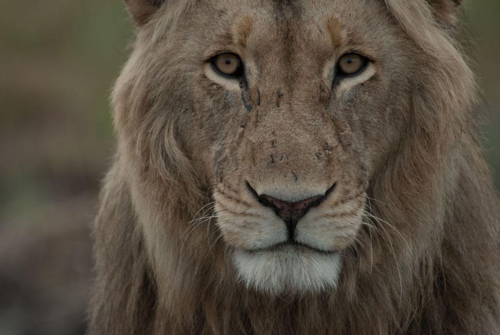 Busanga Swamps, Zambia: Close up of male lion. A male lion is a necessary piece of a lion pride. Without a dominant male, an existing pride of lions may become threatened by invaders.