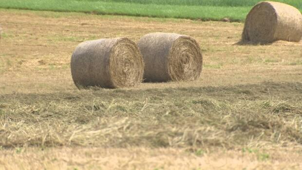 Hay bales have doubled in price over the past year. (Joe MacDonald/CBC - image credit)