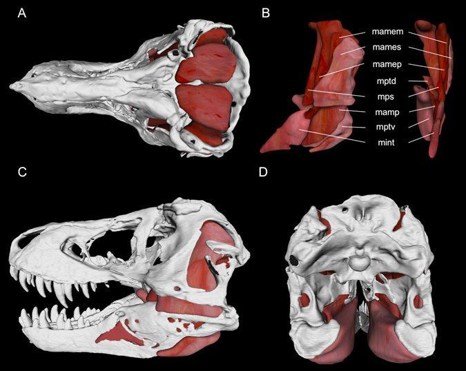 Jaw adductor muscle model for Tyrannosaurus rex