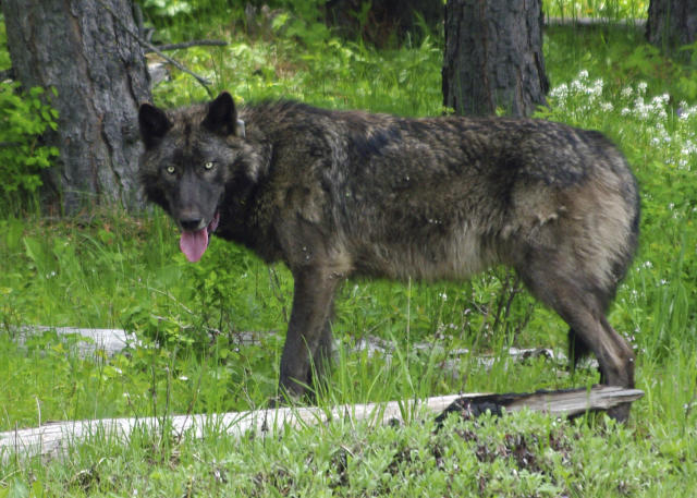 This May 25, 2014 photo provided by the Oregon Department of Fish and Wildlife shows a 100-pound adult male wolf which was outfitted with a GPS radio-collar in the Mt. Emily area. The Mexican and red wolf populations are struggling despite a great amount of money and work put into their reintroduction. (ODFW via AP)
