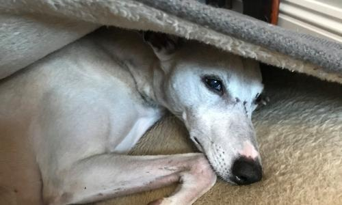 Dog tired: will the new podcast for pooches soothe my surly whippet?