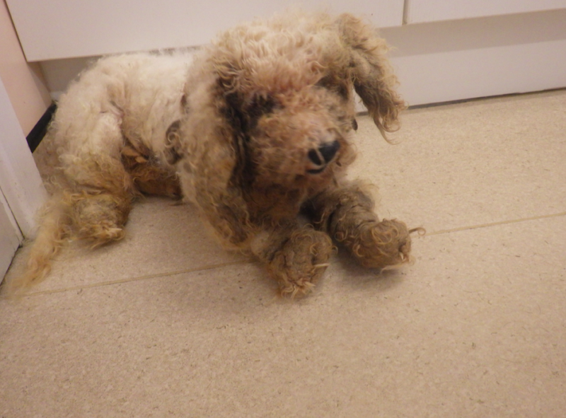 Oscar was covered in matted fur when he came to the RSPCA (RSPCA)