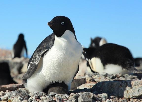 Penguins Once Thrived in Warmer Temps, But Now Face Climate Crisis