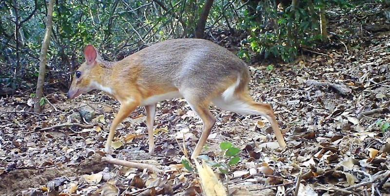 The continued existence of the chevrotain, a small deer-like animal in Vietnam, has been confirmed scientifically for the first time since 1907. (Photo: Global Wildlife Conservation)