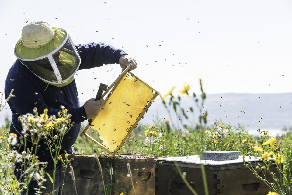 Beekeeper At Work, Cleaning and Inspecting Hive On a nice day of summer in Quebec, Canada