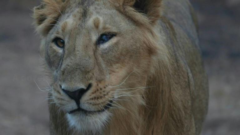 India's endangered lion prides