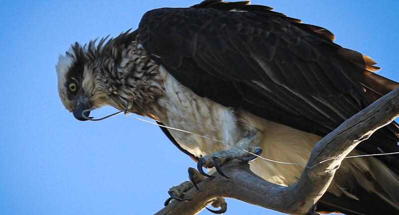 Photo shows fishing line and a fish hook attached to an osprey in Queensland.