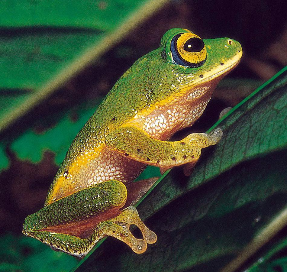 In this 1998 photo released by the Wildlife Heritage Trust, a Philautus femoralis tree frog is seen at the Horton Plains National Park, Sri Lanka. Researchers confirmed 35 new species of frog in Sri Lanka's dwindling rain forest over the past decade but also found that 17 frog species have disappeared and 11 others face imminent extinction unless their habitat is protected. (AP Photo/Courtesy Wild Life Heritage Trust, HO)