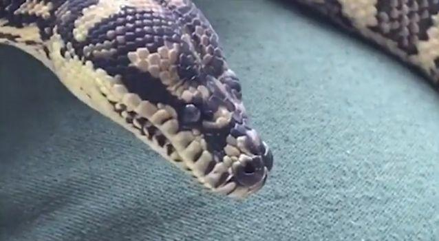 The snake developed a habit while living at a drug lab. Source: NSW Wildlife Care Centre