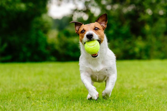 Dog owners fear their pets could find more balls that have been tampered with and injure themselves. Stock image.