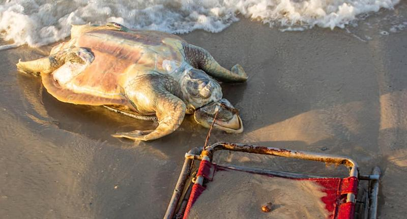 An endangered sea turtle was strangled by a discarded beach chair and found by environmental activists.