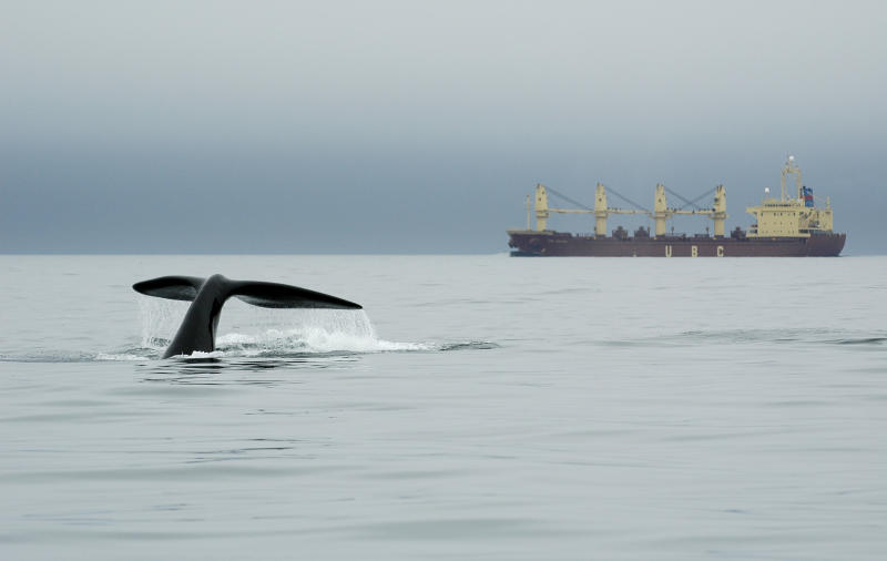 In this Sept. 10, 2007 photo released by the New England Aquarium, a right whale dives near a ship in Canada's Bay of Fundy. A study published in London Feb. 8, 2012 shows that reduced ship traffic in the Bay of Fundy after Sept. 11, 2001 resulted in a significant decrease in underwater noise and a corresponding reduction of stress hormones in right whales.  (AP Photo/New England Aquarium)