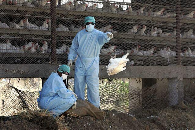 An Indian government worker throws dead chicken in the burial pit in North Maharashtra in February. Source: Getty