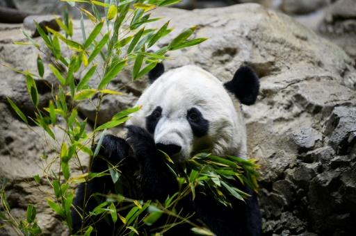 """Giant panda Bei Bei is heading back to China under the strict rules of """"panda diplomacy"""""""