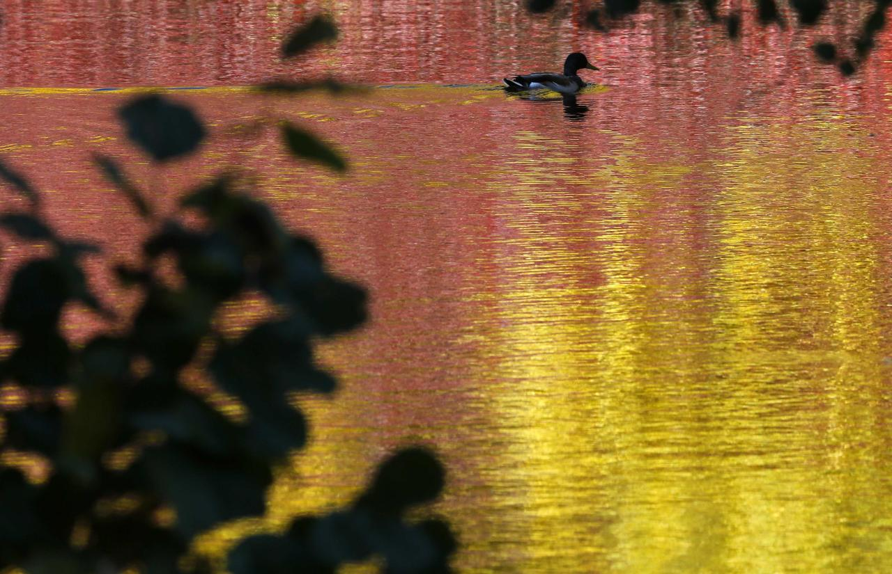 A duck swims in a pond at a park in central St. Petersburg October 6, 2013. REUTERS/Alexander Demianchuk (RUSSIA - Tags: SOCIETY ANIMALS TPX IMAGES OF THE DAY)