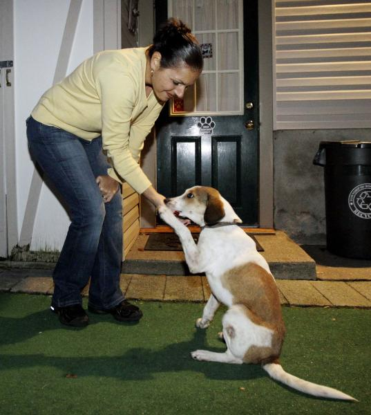 "In this Oct. 28, 2011, file photo, Daniel, right, who is better known as the ""Miracle Dog"", gives his paw to Jill Pavlik at her home in Rochelle Park, N.J., where he was being fostered upon his arrival in the state. The stray beagle mix, who walked out unscathed from the carbon monoxide administered by the Animal Control Department in Florence, Ala., will be among eight shelter dogs riding on a float in the Rose Parade in Pasadena, Calif., on New Year's Day. (AP Photo/Julio Cortez, File)"