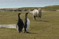 King penguins and a sheep are seen at Volunteer Point, north of Stanley in the Falkland Islands